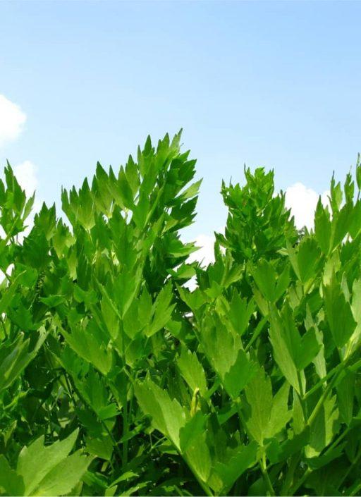 Liebstöckel Pflanzen