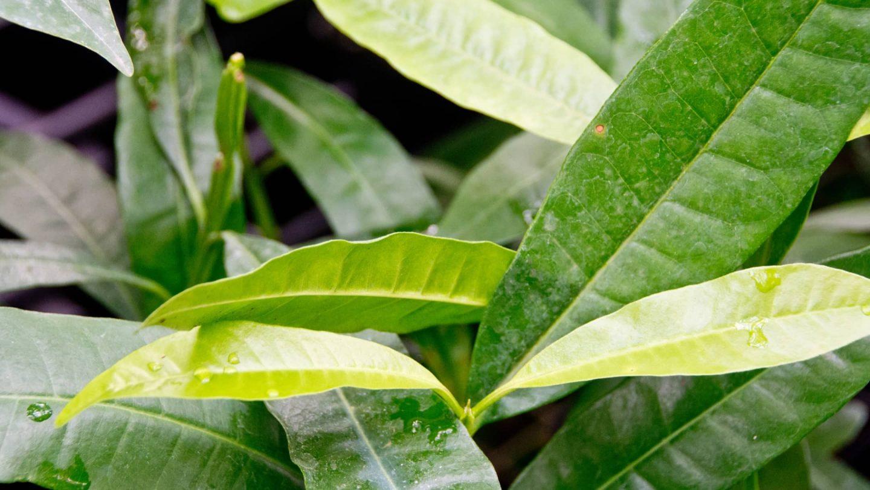 Piment Pflanze in der Natur