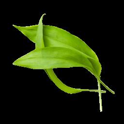 Bärlauchblätter